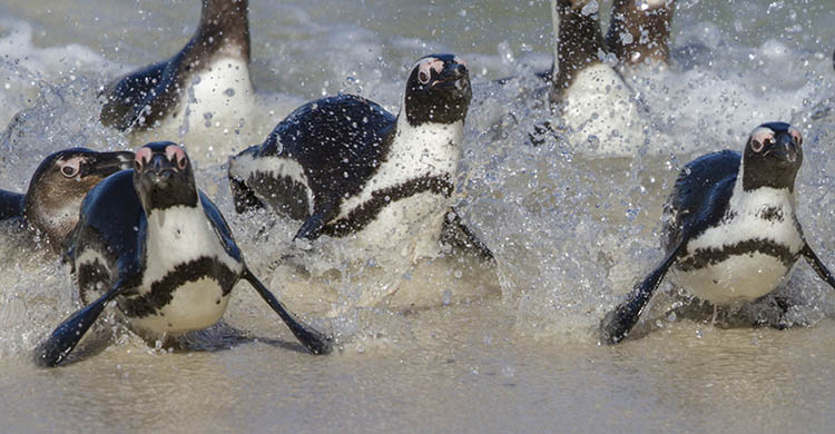 Jackass Penguins © Mike Barth