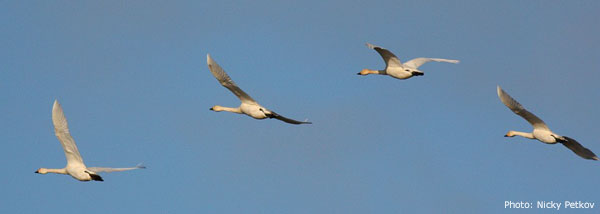 Flock of migrating Bewick's Swans at Nemunas Delta stop over site in Lithuania / Photo: Nicky Petkov
