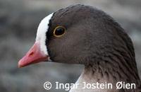 Lesser White-fronted Goose (Photo:  Ingar Jostein Øien)