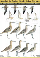 Click to download the new Slender-billed Curlew Toolkit (PDF Format)