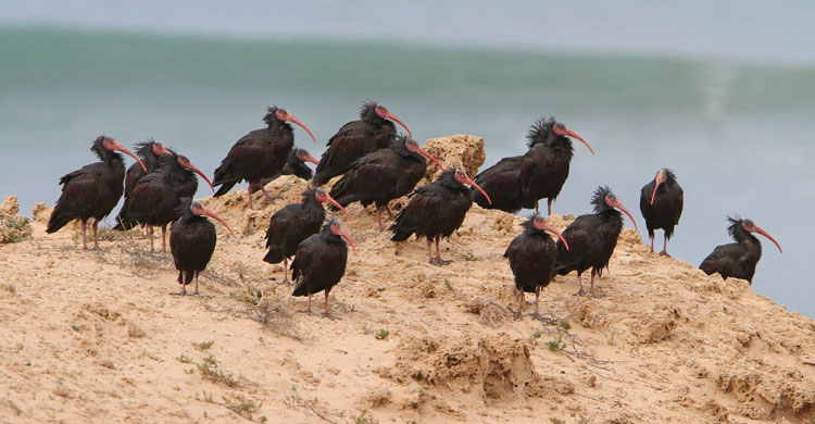 Northern Bald Ibis (Geronticus eremita) © Christoph Moning