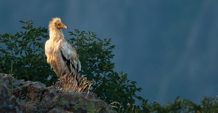 Egyptian Vulture © Sergey Dereliev, www.dereliev-photography.com