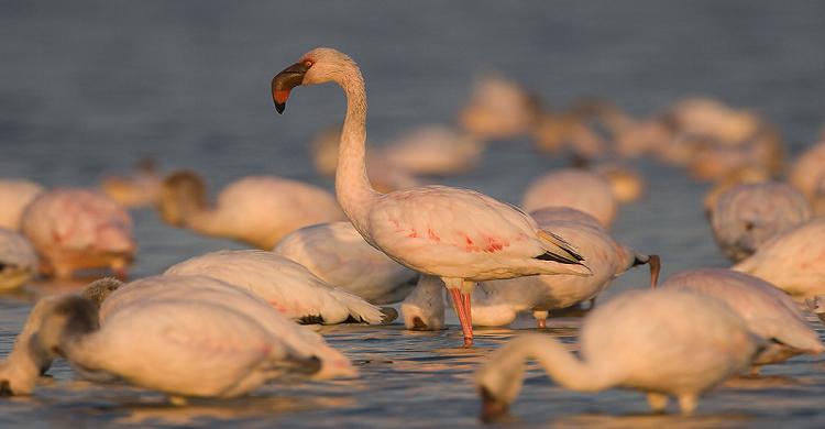 Lesser Flamingos © Mark Anderson