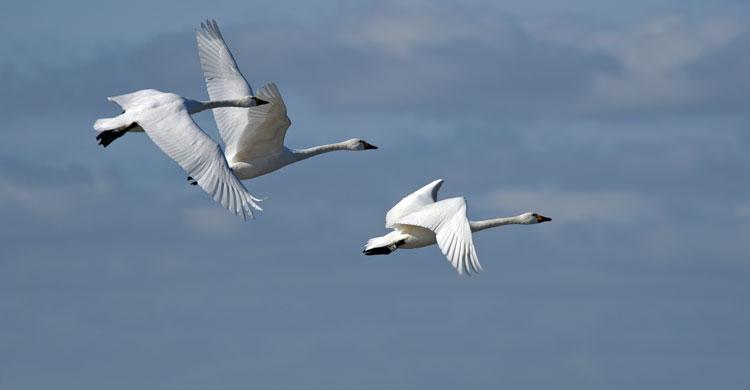 Bewick's Swans (Cygnus columbianus bewickii) © Paul Marshall/WWT
