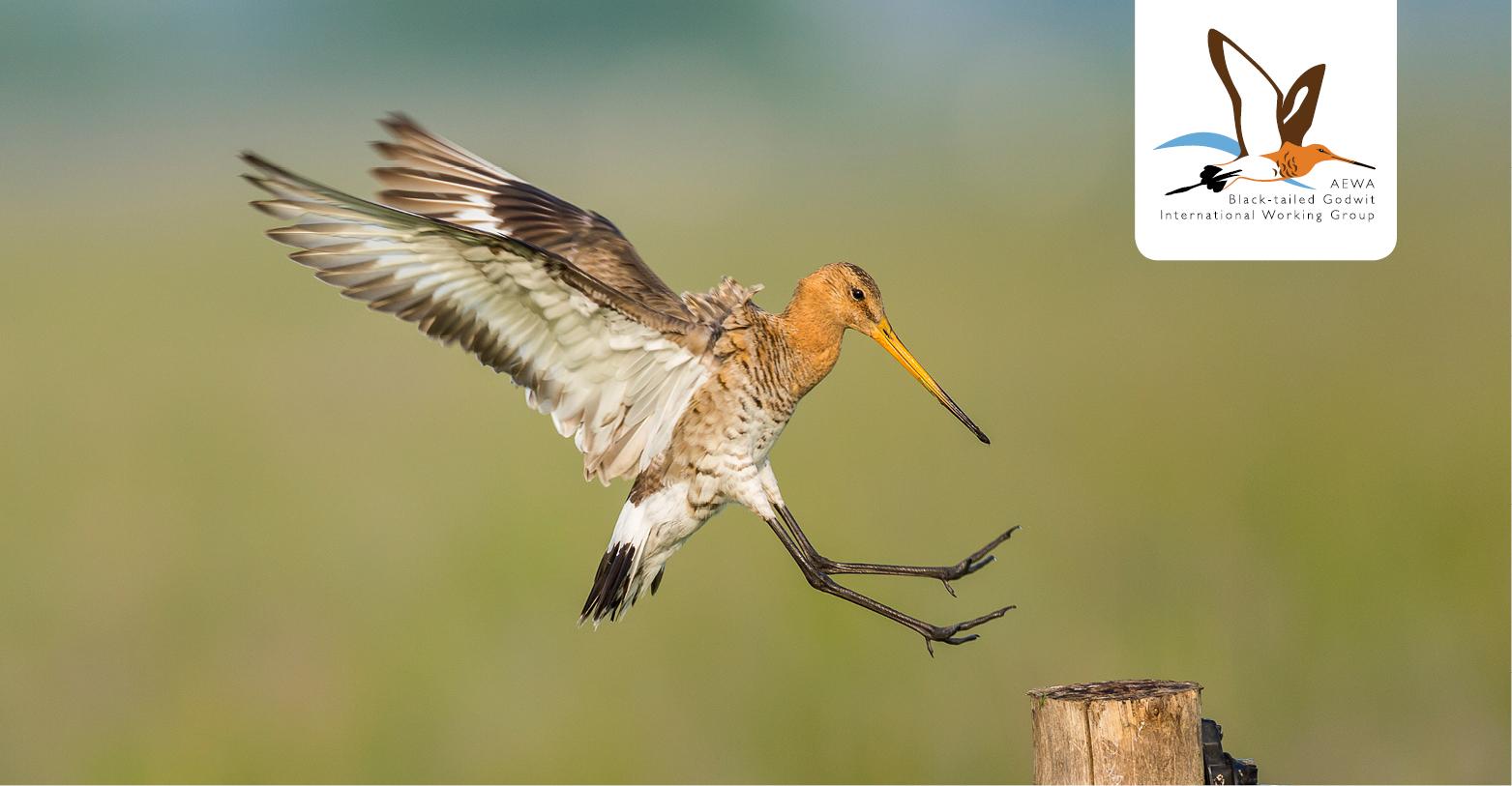 Black-tailed Godwit (Limosa limosa) © Szabolcs Nagy