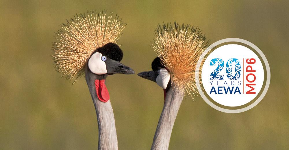 Grey Crowned-cranes (Balearica regulorum) ©Shawn Olesen, www.shawnolesenphotography.com