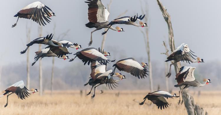 Grey-crowned Cranes © Wim Werrelman