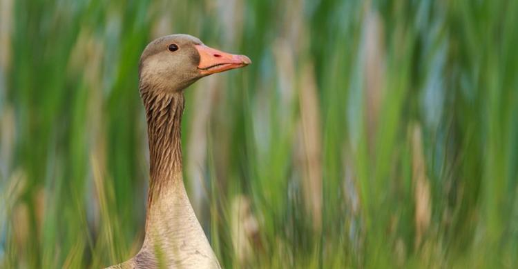 Greylag Goose (Anser anser) © Szabolcs Nagy