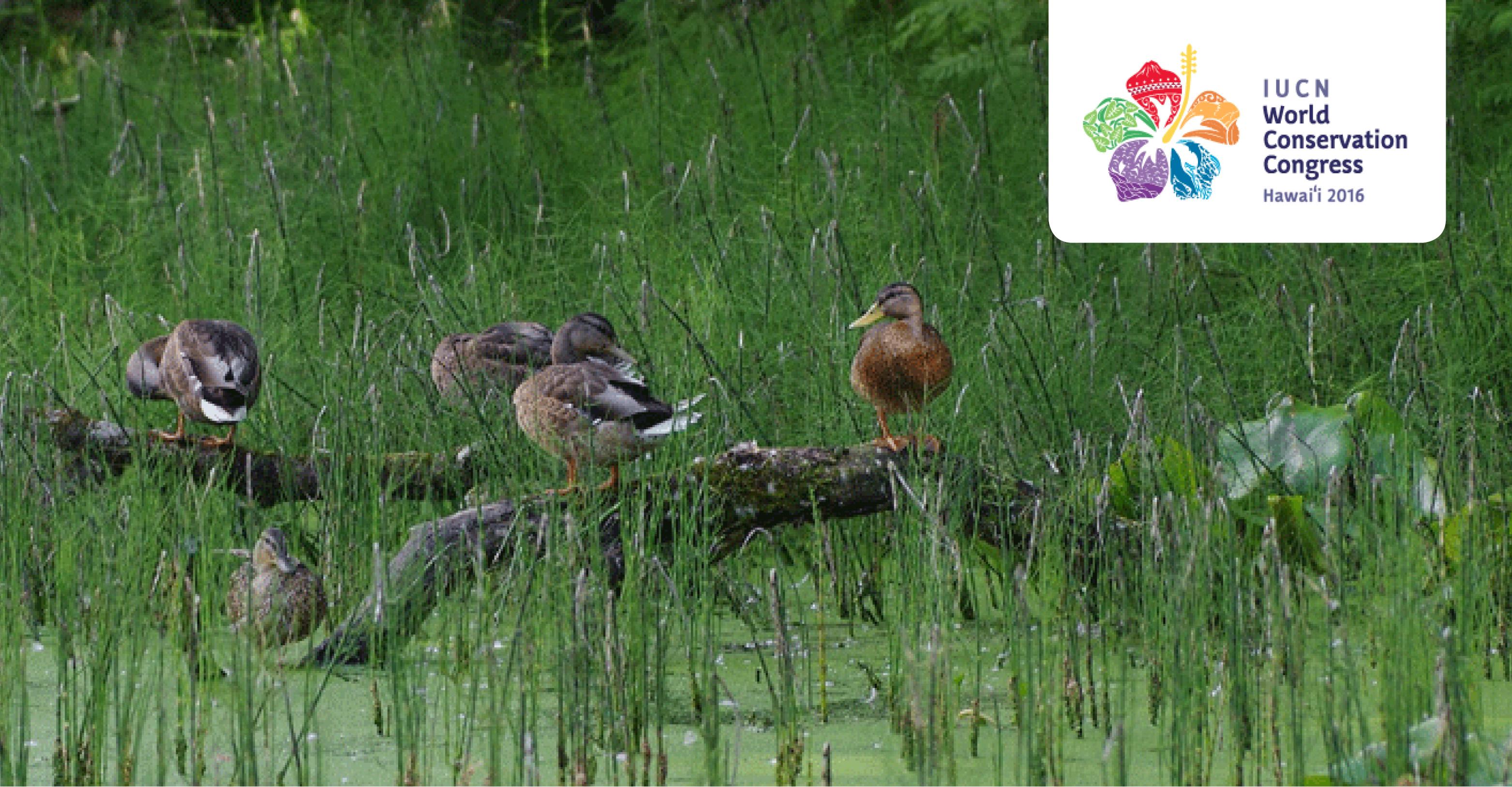 Canards colverts © Pixabay.com