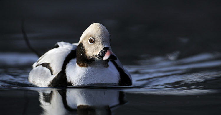 Long-tailed Duck (Clangula hyemalis) © Jan Pedersen