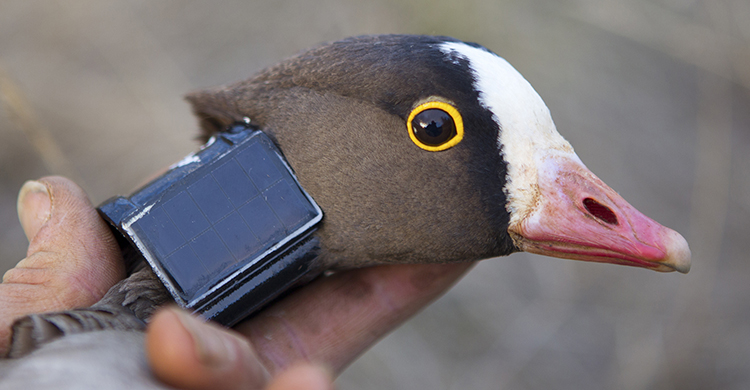 Saving One of the World's Most Threatened Geese – the Lesser White-fronted Goose