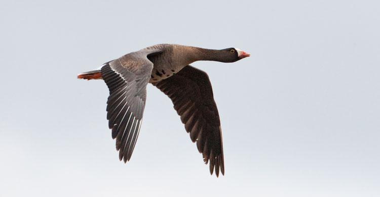 Lesser White-fronted Goose ©Jari Peltomäki
