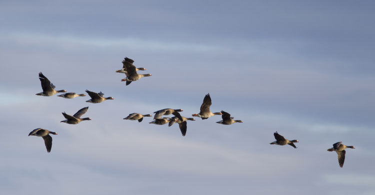 Conservation of Globally Threatened Geese under AEWA