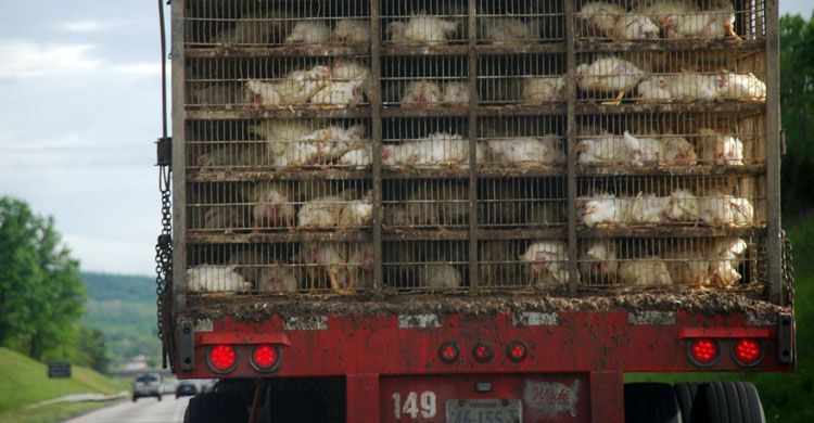 Chickens being transported © Nugget Truck by Dodo (Wikipedia – CC 2.0 Generic Licence)