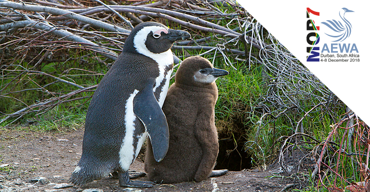 Showcasing Action for AEWA Priority Species: African Penguin