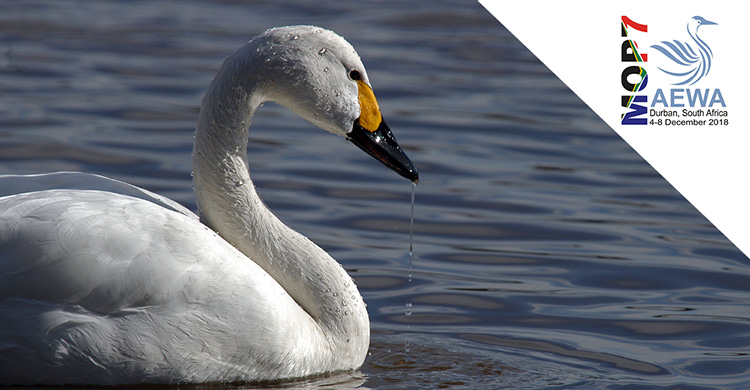 Showcasing Action for AEWA Priority Species: Bewick's Swan