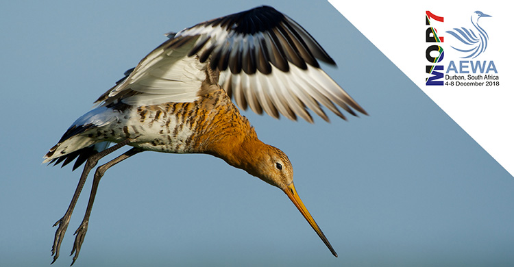 Showcasing Action for AEWA Priority Species: Black-tailed Godwit