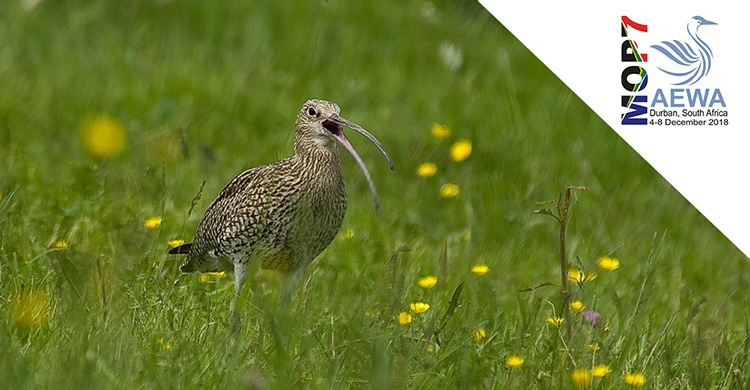 Showcasing Action for AEWA Priority Species: Eurasian Curlew