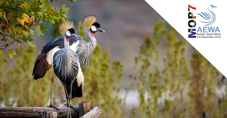 Showcasing Action for AEWA Priority Species: Grey Crowned-crane