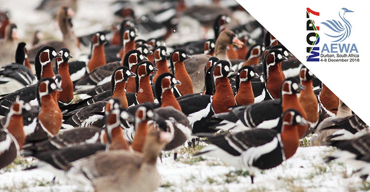 Showcasing Action for AEWA Priority Species: Red-breasted Goose