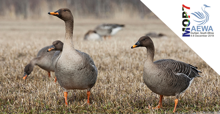 Showcasing Action for AEWA Priority Species: Taiga Bean Goose