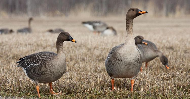 netherlands hosts european goose management meetings aewa