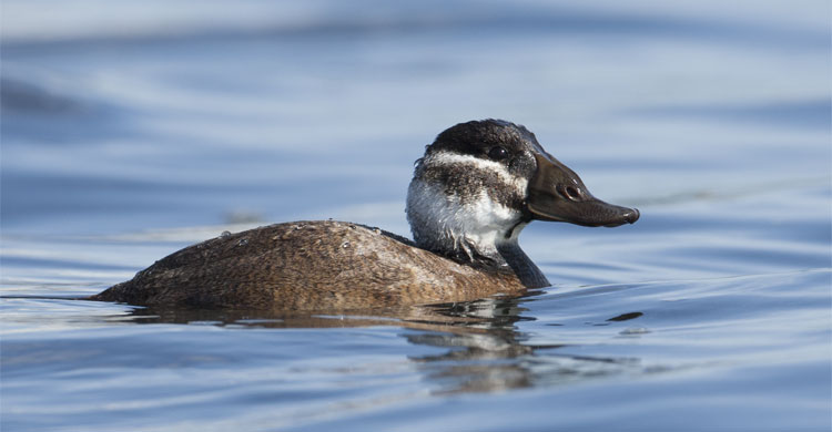 White-headed Duck (Oxyura leucocephala) © Amir Bendov