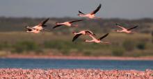Lesser Flamingos (Phoeniconaias minor) © Mark Anderson
