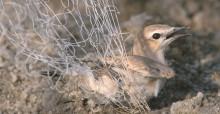 Traquet motteux pris dans un filet maillant - Photo: Mindy El Bashir (Nature Conservation Egypt)