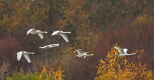 Bewick's Swans in flight © Boris Belchev