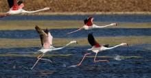 Greater Flamingos (Phoenicopterus roseus) © Doron Nissim