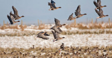 Pink-footed Geese in flight © John Anderson