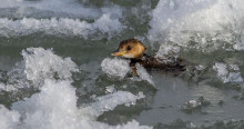 Little Grebe facing severe winter conditions in Bosnia and Herzegovina © Narcis Drocic