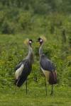 Grey Crowned Cranes (Balearica regulorum) © Sergey Dereliev, www.dereliev-photography.com
