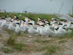 Royal Terns (Sterna maxima) nesting on Breton © U.S. Fish and Wildlife Service Southeast Region