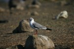 Grey-headed Gull (Larus cirrocephalus) © Nicola Holden