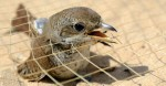 International Coordination Meeting agreed on Plan of Action to address issue of bird trapping along the Mediterranean coasts of Egypt and Libya © Holger Schulz