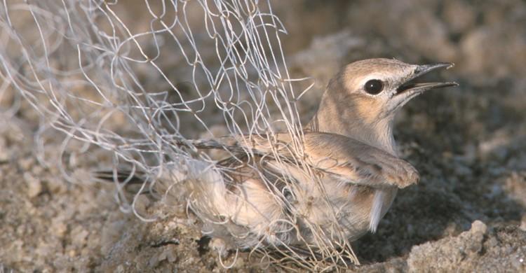 Wheatear caught in Trammel Net - Photo: Mindy El Bashir (Nature Conservation Egypt)