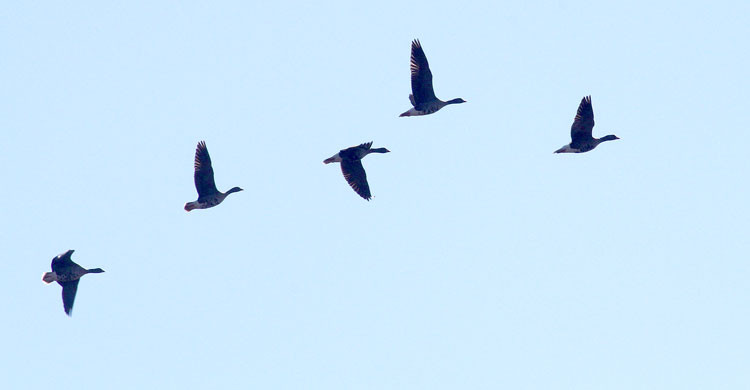 Lesser White-fronted Geese from the Fennoscandian flock flying over Siikajoki, Finland on the 1st of May 2017 © Petri Lampila