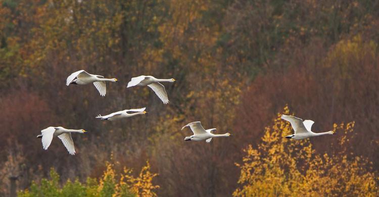 Bewick's Swans in flight © Boris Belchev