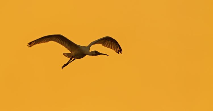 Eurasian Spoonbill (Platalea leucorodia) © Boris Belchev