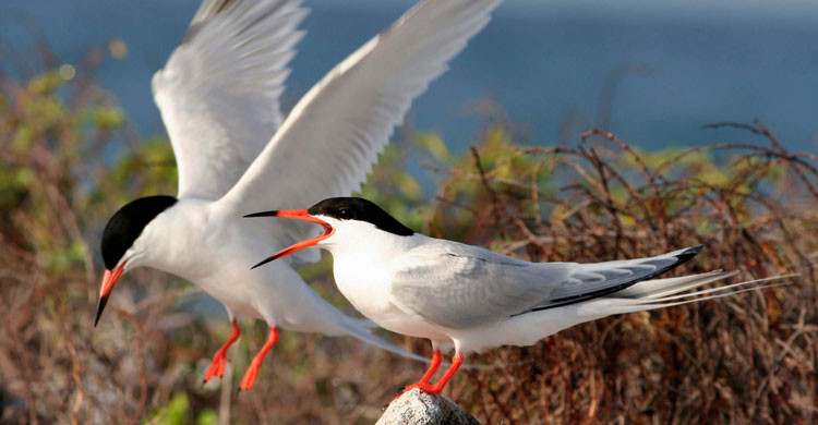 Roseate Tern (Sterna dougallii) © US Fish and Wildlife Service