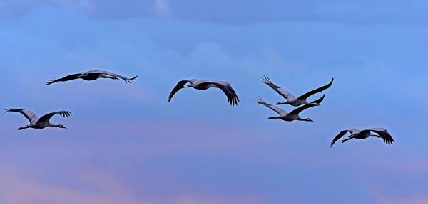 Common cranes flying