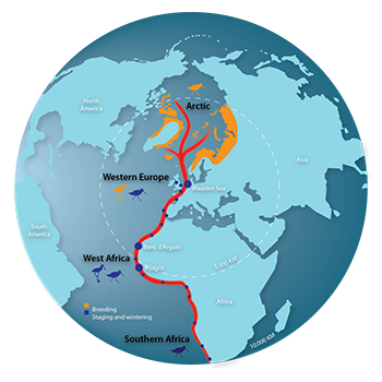 The East Atlantic Flyway - Graphic by the Common Wadden Sea School (CWSS).