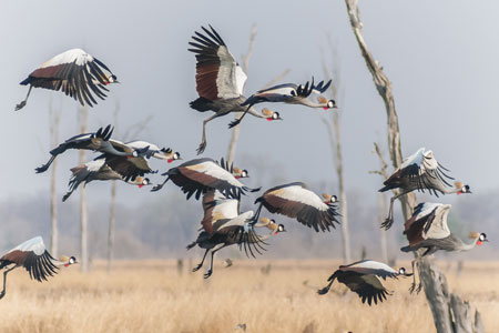 A flock of Grey Crowned-cranes © Wim Werrelman