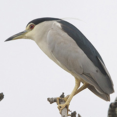 Black-crowned Night Heron by Lip Kee - Creative Commons Attribution-ShareAlike 2.0 Generic (CC BY-SA 2.0) https://www.flickr.com/photos/lipkee/4171633712