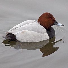 Pochard By Tony Hisgett from Birmingham, UK (Pochard 2) [CC BY 2.0 (https://creativecommons.org/licenses/by/2.0)], via Wikimedia Commons