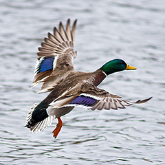 Mallard - By Keith (Flickr: DSC06489) [CC BY 2.0 (https://creativecommons.org/licenses/by/2.0)], via Wikimedia Commons